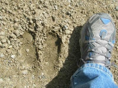 Animal track web