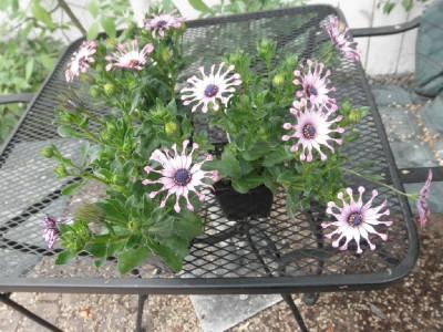 Spoon petal daisies web