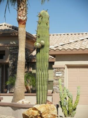 Grandpa saguaro web